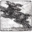 ... studies of a poodle-bush...  (Click to enlarge)